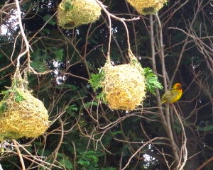 Weaver Birds in South Africa
