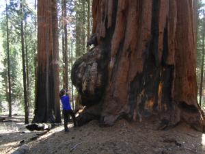 Marvelling at the Giant Forest in Sequoia National Forest